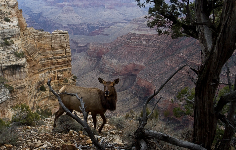 South Rim of the GRand Canyon. Female Elk Grazing Along a cliffside.