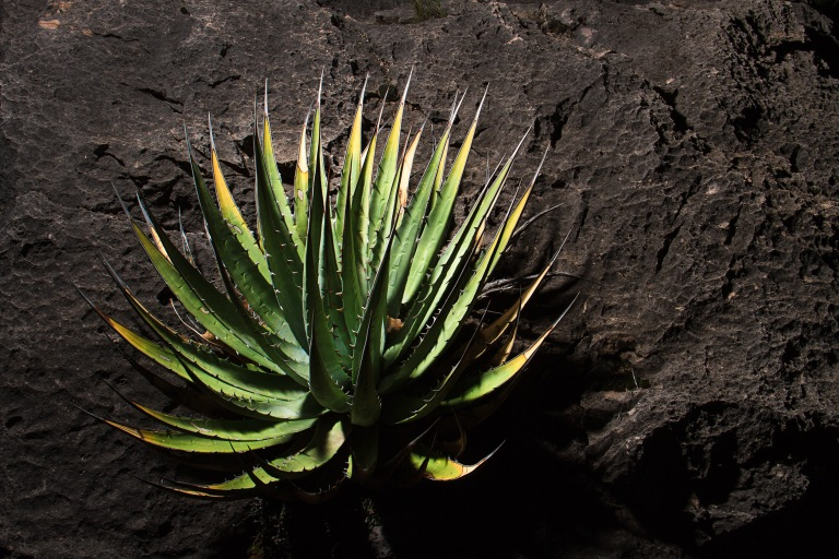 Grand Canyon agave
