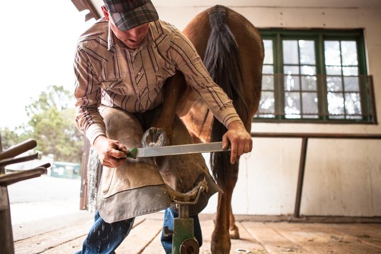 Mule Shoeing